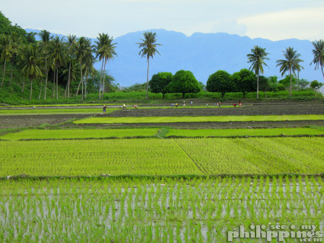 Rice Fields Maricaban tingloy batangas philippines