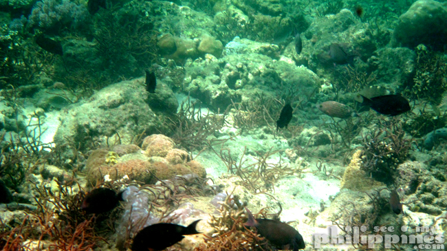 Dive Solana Resort Anilao Batangas Underwater